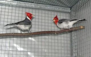 Птицы Южной и Северной Америки Серый или краснохохлый кардинал (Paroaria corona)