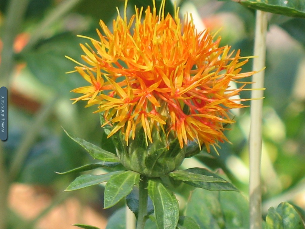 Агротехника выращивания сафлора 61